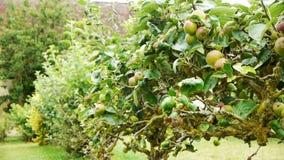 Vecchio di melo di Espaliered al castello di Canon, Francia video d archivio