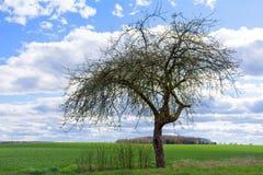 Vecchio di melo in primavera contro cielo blu con le nuvole Immagini Stock