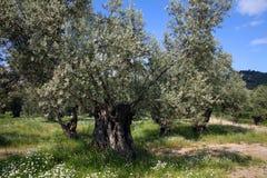 Vecchio di olivo Immagine Stock