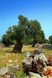 Vecchio di olivo Immagine Stock Libera da Diritti