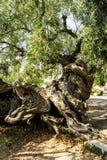 Vecchio di olivo Immagini Stock Libere da Diritti