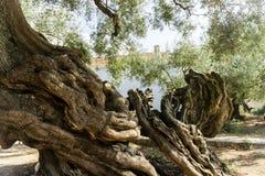 Vecchio di olivo Fotografia Stock