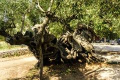 Vecchio di olivo Fotografia Stock Libera da Diritti