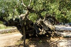 Vecchio di olivo Fotografie Stock Libere da Diritti