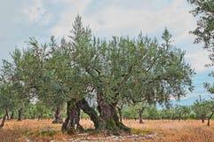 Vecchio di olivo che cresce in Umbria, Italia Fotografia Stock