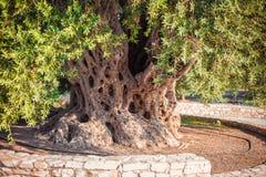 Vecchio di olivo con le olive per produzione di petrolio fotografie stock libere da diritti