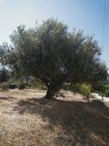 Vecchio di olivo in Grecia immagini stock libere da diritti