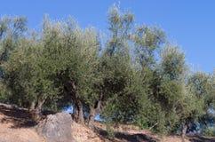 Vecchio di olivo nel campo Fotografie Stock Libere da Diritti
