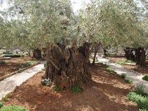 Vecchio di olivo nel giardino di Gethsemane Israel Jerusalem Fotografie Stock