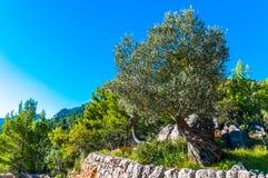 Vecchio di olivo su Mallorca Fotografia Stock