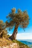 Vecchio di olivo su Mallorca Fotografie Stock