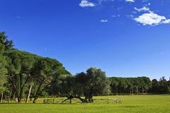 Vecchio di olivo sulle isole di Brijuni Immagine Stock