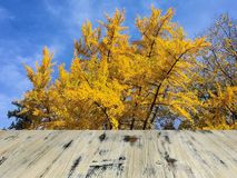 Vecchio dipinto ha lavato la tavola di legno di quercia sul ginko giallo variopinto lascia il fondo dell'albero del ramo, tavola  fotografie stock