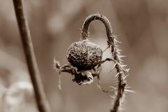 Vecchio e frutta secca del selvaggio è aumentato nella seppia Fotografie Stock