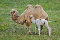 Vecchio e giovane cammello Fotografia Stock