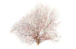 Vecchio ed albero morto isolato Immagini Stock