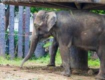 vecchio elefante Immagini Stock