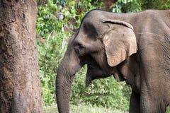 Vecchio elefante asiatico femminile circa per usare albero per graffiare fotografia stock libera da diritti