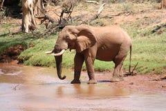 Vecchio elefante di Bull al fiume Fotografia Stock Libera da Diritti