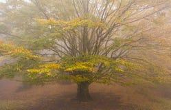 Vecchio faggio monumentale nella nebbia Fotografie Stock