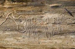 Vecchio fondo del ceppo di albero, struttura di legno stagionata con la sezione trasversale di un ceppo del taglio Fotografia Stock