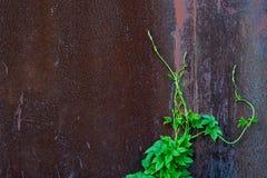 Vecchio fondo del metallo e pianta verde Fotografia Stock Libera da Diritti