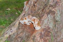 Vecchio fungo su un albero del sicomoro Fotografia Stock