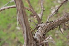 Vecchio gambo dell'uva Fotografie Stock Libere da Diritti