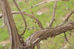 Vecchio gambo dell'uva Fotografie Stock