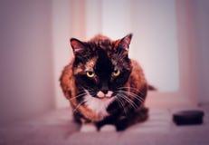 Vecchio gatto Fotografie Stock Libere da Diritti