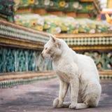 Vecchio gatto bianco sulla base di pegoda Immagine Stock