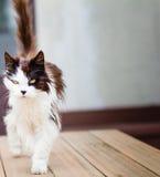 Vecchio gatto con gli occhi dorati Fotografia Stock