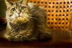 Vecchio gatto grigio lanuginoso con i wiskers selvaggi sulla sedia di cuoio con lo stoppino immagini stock libere da diritti