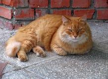 Vecchio gatto rosso bello Fotografie Stock