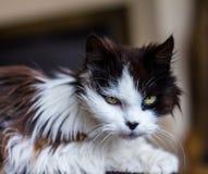 Vecchio gatto scontroso con gli occhi dorati Fotografia Stock Libera da Diritti