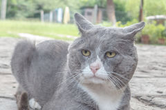 Vecchio gatto simile a pelliccia Fotografia Stock