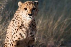 Vecchio ghepardo Fotografie Stock