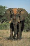 Vecchio gigante dell'Africa Fotografia Stock Libera da Diritti