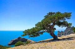 Vecchio ginepro vicino al mare sulla roccia Immagini Stock Libere da Diritti
