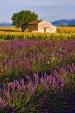 Vecchio granaio nei giacimenti della lavanda e del girasole sul plateau De Valensole Fotografie Stock