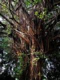Vecchio grande albero Fotografia Stock