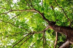 Vecchio grande albero Fotografie Stock