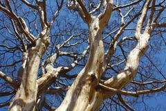 Vecchio grande albero di Platan dell'indiano Fotografia Stock Libera da Diritti