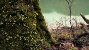 Vecchio grande albero mistico invaso con muschio verde stock footage
