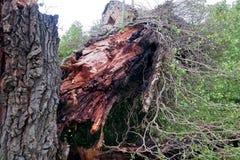 Vecchio grande albero spaccato in due e caduto alla terra fotografia stock libera da diritti