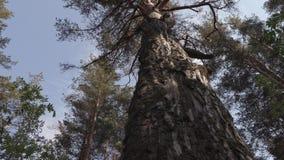 Vecchio grande pino nella foresta archivi video