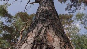 Vecchio grande pino nella foresta stock footage