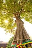 Vecchio grande tree001 Fotografia Stock