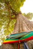 Vecchio grande tree002 Fotografia Stock