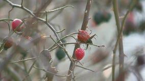 Vecchio inverno asciutto di rovo dell'albero del cespuglio dolce del cinorrodo video d archivio
